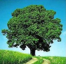 Bild kranker Walnussbaum